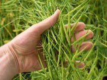 Il raccolto del seme oleifero della tenuta della mano dell'uomo nella parte anteriore Fagioli verdi freschi Immagine Stock