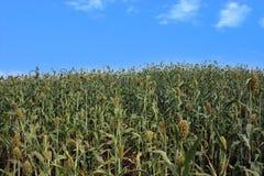 Il raccolto del sorgo Immagine Stock Libera da Diritti