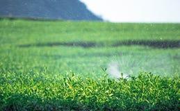 Il raccolto del tè Fotografie Stock