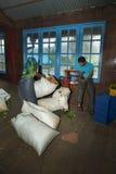 Il raccolto del tè che pesa sulla fabbrica del tè Immagine Stock