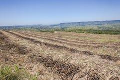 Il raccolto del taglio del giacimento della canna da zucchero Fotografia Stock