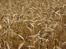 Il raccolto del triticum del grano Immagini Stock