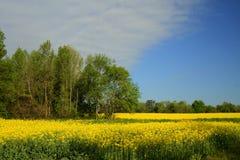 Il raccolto dell'Alabama Canola - napus L. del brassica. Fotografia Stock