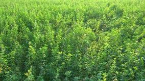 Il raccolto dell'alfalfa video d archivio