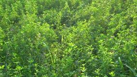 Il raccolto dell'alfalfa stock footage