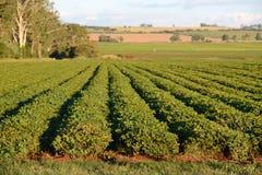 Il raccolto dell'arachide Fotografie Stock Libere da Diritti