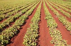 Il raccolto dell'arachide Immagine Stock Libera da Diritti