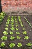 Il raccolto dell'insalata pronto per la raccolta Fotografie Stock Libere da Diritti