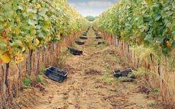 Il raccolto dell'uva Fotografie Stock Libere da Diritti