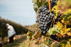 Il raccolto dell'uva Immagini Stock Libere da Diritti