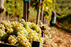 Il raccolto dell'uva Immagine Stock Libera da Diritti