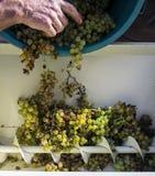 Il raccolto dell'uva, l'agricoltore ha messo l'uva passa nella macchina moderna per la compressione l'uva Regione di Chianti, Tos Immagini Stock
