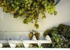 Il raccolto dell'uva, l'agricoltore ha messo l'uva passa nella macchina moderna per la compressione l'uva Regione di Chianti, Tos Immagine Stock