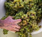 Il raccolto dell'uva, l'agricoltore ha messo l'uva passa nella macchina moderna per la compressione l'uva Regione di Chianti, Tos Fotografie Stock