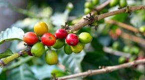 Il raccolto della bacca di caffè Immagine Stock Libera da Diritti