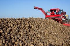 Il raccolto della barbabietola da zucchero Fotografia Stock Libera da Diritti