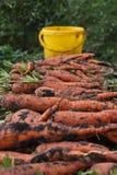 Il raccolto della carota Immagini Stock Libere da Diritti