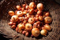 Il raccolto della cipolla Fotografia Stock