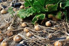 Il raccolto della cipolla e del cavolo cinese Fotografia Stock Libera da Diritti