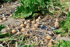 Il raccolto della cipolla e del cavolo cinese Immagine Stock