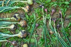Il raccolto della cipolla ha scavato l'arco che si trova e che si asciuga sulla terra, vista superiore Immagini Stock