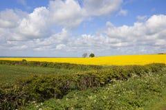 Il raccolto della colza nella primavera Fotografia Stock Libera da Diritti