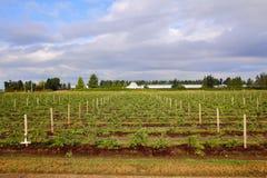 Il raccolto della fragola di estate Fotografia Stock
