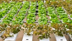 Il raccolto della lattuga Fotografia Stock Libera da Diritti