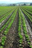 Il raccolto della lattuga Fotografia Stock