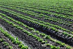 Il raccolto della lattuga Immagini Stock