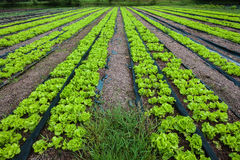 Il raccolto della lattuga di coltura idroponica di agricoltura Fotografia Stock