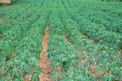 Il raccolto della manioca Fotografia Stock