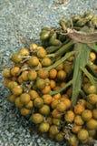 Il raccolto della noce di betel Fotografia Stock