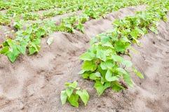 Il raccolto della patata dolce Fotografia Stock Libera da Diritti