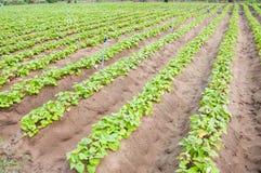 Il raccolto della patata dolce Fotografia Stock