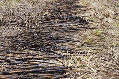 Il raccolto della raccolta della canna da zucchero Fotografie Stock Libere da Diritti