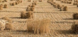 Il raccolto della risaia allo stadio finale Fotografia Stock Libera da Diritti