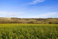 Il raccolto della senape dei wolds di Yorkshire Immagini Stock Libere da Diritti