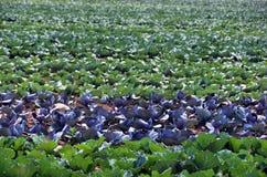 Il raccolto della toppa di cavolo nello Stato di New York Fotografia Stock Libera da Diritti