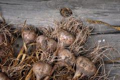 Il raccolto di aglio Fotografie Stock