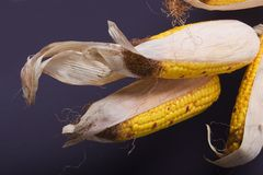 Il raccolto di autunno - cereale Fotografia Stock Libera da Diritti