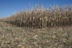 Il raccolto di cereale è completamente oscillazione nelle parti centrali del ` s dell'America Fotografia Stock