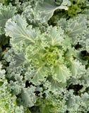 Il raccolto di crescita verde frondosa del cavolo Fotografia Stock