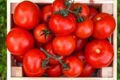 Il raccolto di immagine del pomodoro fresco Immagine Stock
