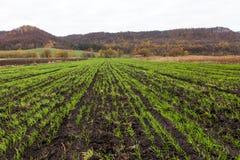 Il raccolto di inverno ansimato nel campo Immagini Stock Libere da Diritti