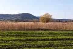 Il raccolto di inverno ansimato nel campo Immagine Stock