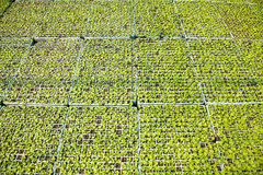 Il raccolto di lattuga Immagine Stock Libera da Diritti