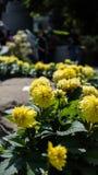 Il raccolto di pianta del girasole in un giardino immagine stock