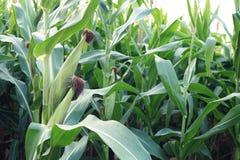 Il raccolto di piantatura del cereale di campo nella fase di fruttificazione, concetto tradizionale di agricoltura immagini stock libere da diritti