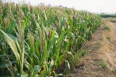 Il raccolto di piantatura del cereale di campo nella fase di fruttificazione, concetto tradizionale di agricoltura immagine stock